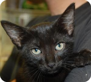 Domestic Shorthair Kitten for adoption in Brooklyn, New York - Grover