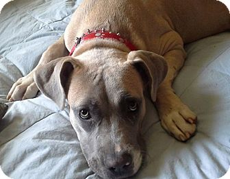 Pit Bull Terrier Mix Dog for adoption in Shelter Island, New York - Jayda