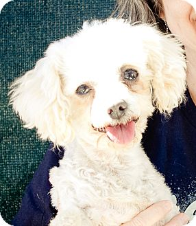 Poodle (Toy or Tea Cup) Dog for adoption in Acton, California - Ivory or Ivy