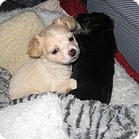 Adopt A Pet :: Lulu - Playa Del Rey, CA