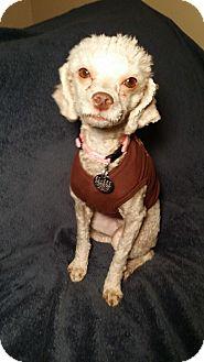 Poodle (Miniature) Mix Dog for adoption in Mesa, Arizona - SNOW - 2YR TOY POODLE FEMALE
