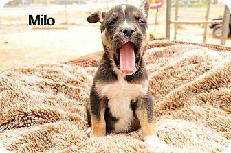 German Shepherd Dog Mix Puppy for adoption in Hesperia, California - Milo