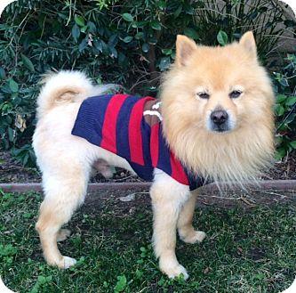 Pomeranian Mix Dog for adoption in Irvine, California - LEO