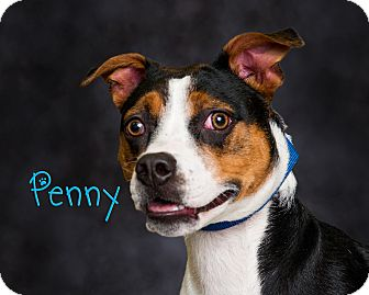 Beagle Mix Dog for adoption in Somerset, Pennsylvania - Penny