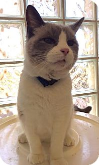 Siamese Cat for adoption in Westminster, California - Porkchop