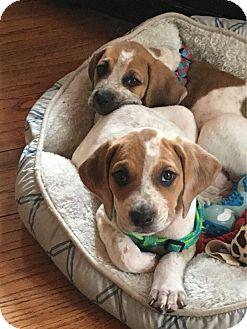 Redtick Coonhound Mix Puppy for adoption in Odessa, Florida - Red-Tick Puppys