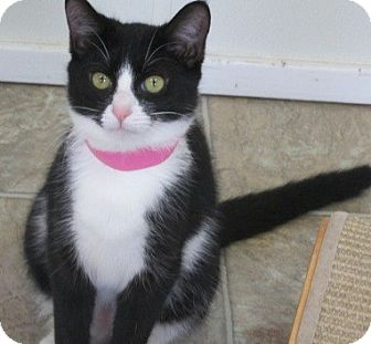 Domestic Shorthair Cat for adoption in Aiken, South Carolina - ASHLEY