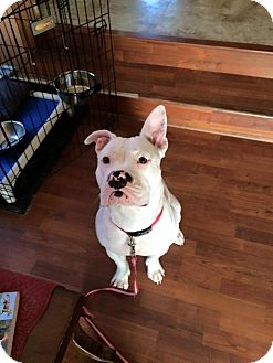 Pit Bull Terrier Mix Dog for adoption in Westminster, Maryland - Opal