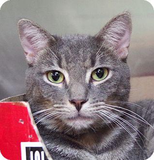 Domestic Shorthair Cat for adoption in Daytona Beach, Florida - Rosco