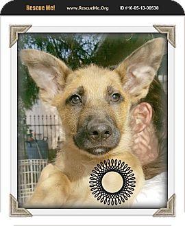 Anatolian Shepherd/Husky Mix Puppy for adoption in Los Angeles, California - Sam Shepherd