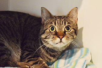 Domestic Shorthair Cat for adoption in Lincoln, Nebraska - Freddie