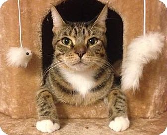 Domestic Shorthair Cat for adoption in Gilbert, Arizona - Simon