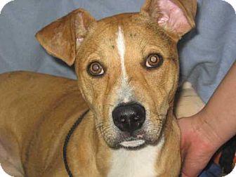 Pit Bull Terrier Mix Dog for adoption in Kankakee, Illinois - Myley