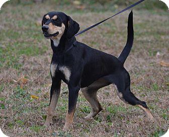Beagle/Dachshund Mix Dog for adoption in Lebanon, Missouri - Charlotte
