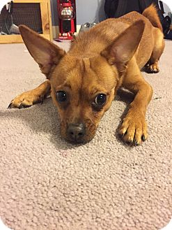 Jack Russell Terrier/Chihuahua Mix Dog for adoption in Worcester, Massachusetts - Brady