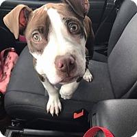 Adopt A Pet :: Meatloaf - bridgeport, CT