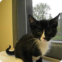 Adopt A Pet :: Brahms - Milwaukee, WI