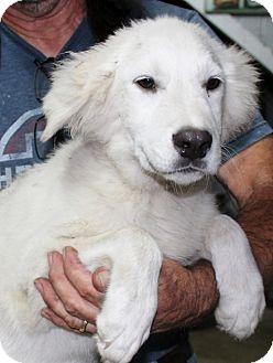 Great Pyrenees/Labrador Retriever Mix Puppy for adoption in Hammonton, New Jersey - samson