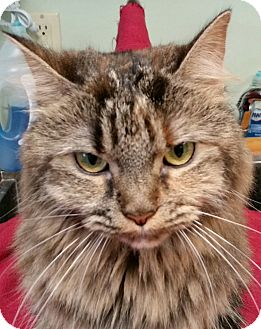Maine Coon Cat for adoption in Staunton, Virginia - Dolly Parton