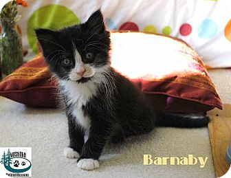 Domestic Mediumhair Kitten for adoption in Huntsville, Ontario - Barnaby - Adopted August 2017