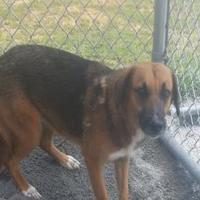 Adopt A Pet :: Runaway - Tiger, GA
