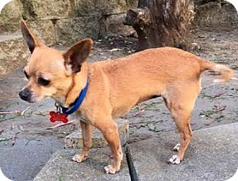 Chihuahua Dog for adoption in San Diego, California - Charo