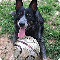 Adopt A Pet :: Cheyenne - Colorado Springs, CO