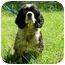 Photo 1 - Cocker Spaniel Mix Dog for adoption in Peachtree City, Georgia - Bismarck
