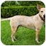 Photo 3 - Australian Cattle Dog/Australian Cattle Dog Mix Dog for adoption in Houston, Texas - Sweet Pea