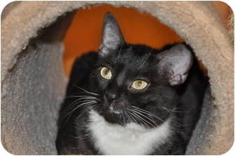 Domestic Shorthair Cat for adoption in Foothill Ranch, California - Boots