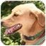 Photo 3 - Labrador Retriever/Shepherd (Unknown Type) Mix Dog for adoption in Fair Oaks Ranch, Texas - Tandy