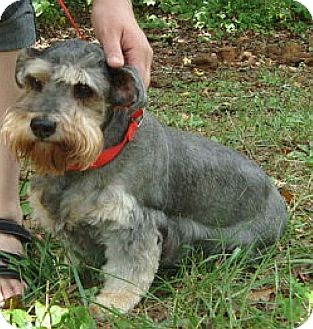Schnauzer (Standard) Dog for adoption in Ocala, Florida - Sweet Betsy