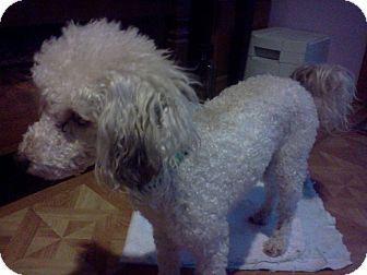 Poodle (Miniature) Dog for adoption in bridgeport, Connecticut - Sammy