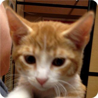 Domestic Shorthair Kitten for adoption in Weatherford, Texas - Jon Luc