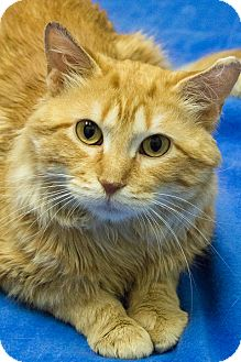 Maine Coon Cat for adoption in Chicago, Illinois - Holden