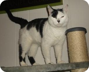 Domestic Shorthair Cat for adoption in Hampton, Virginia - Emma