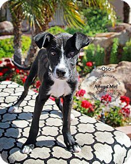 Labrador Retriever/Whippet Mix Puppy for adoption in Phoenix, Arizona - Oso