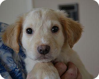 Labrador Retriever/Golden Retriever Mix Puppy for adoption in Mt Sterling, Kentucky - Sunny - Adoption Pending