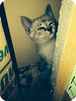 Manx Kitten for adoption in Weatherford, Texas - Fancy