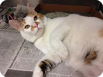 Calico Cat for adoption in East Brunswick, New Jersey - Lola