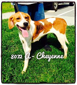 Hound (Unknown Type) Mix Dog for adoption in Dillon, South Carolina - Cheyenne