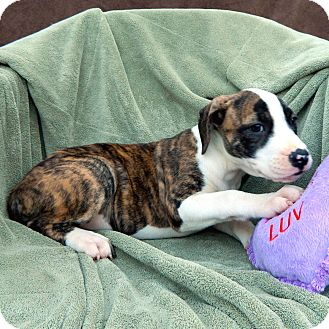 Boxer Mix Puppy for adoption in McCormick, South Carolina - Brenna
