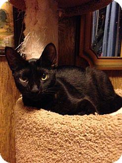 Domestic Shorthair Cat for adoption in Eureka, California - Dionne