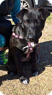 Labrador Retriever Mix Dog for adoption in Dallas, Texas - Romeo
