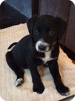 Beagle/Sheltie, Shetland Sheepdog Mix Puppy for adoption in Richmond, Virginia - Summer