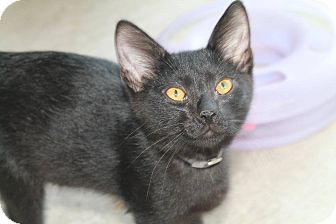 Domestic Shorthair Kitten for adoption in Pittsburg, Kansas - Troy
