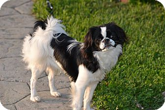 Japanese Chin Puppy for adoption in ROME, New York - Miko