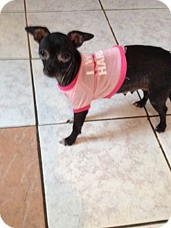 Chihuahua Dog for adoption in Shannon, Georgia - Rosie