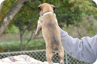 Belgian Malinois Puppy for adoption in Wattertown, Massachusetts - Black Collar - Now White