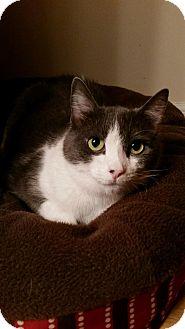 Domestic Shorthair Cat for adoption in Federal Way, Washington - Sassy Sasha!